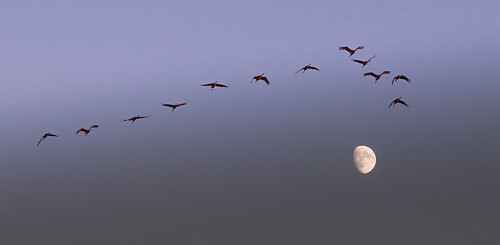 sandhill cranes sunset waxing moon crex meadows fish lake wildlife areas northwestern wisconsin