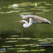 <p>Great Egret<br /> Brooklyn, NY<br /> 11215</p>