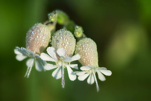 Bladder Campion by D J England