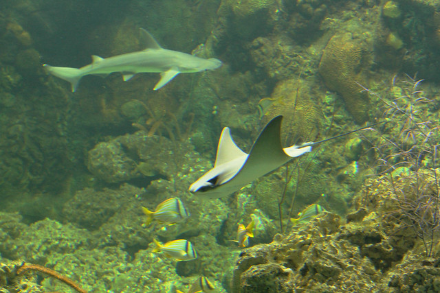 rays and shark tank