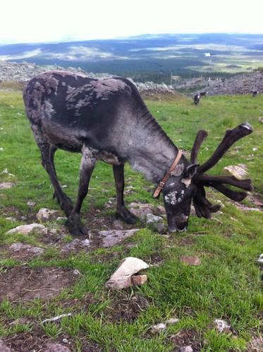animal finland reindeer wildlife lapland levi uploaded:by=flickrmobile flickriosapp:filter=nofilter levigondoli
