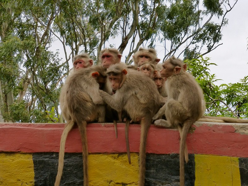 Cycling to Nandi Hills - the climb - monkeys huddling