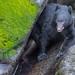 Small photo of Wild Black Bear at Anan Bear Observatory