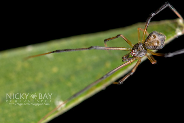 Comb-Footed Spider (Theridiidae) - DSC_3043