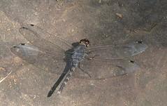 India - Dragonflies