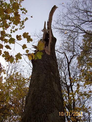 oak trunk is world's tallest stump