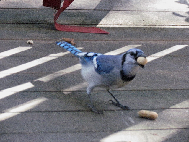 Blue Jay with peanuts1 10:15:13