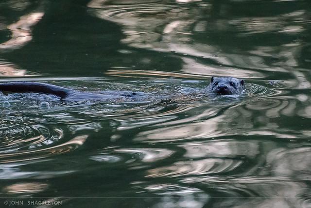 Otter / Nutria - Gijón, Asturias