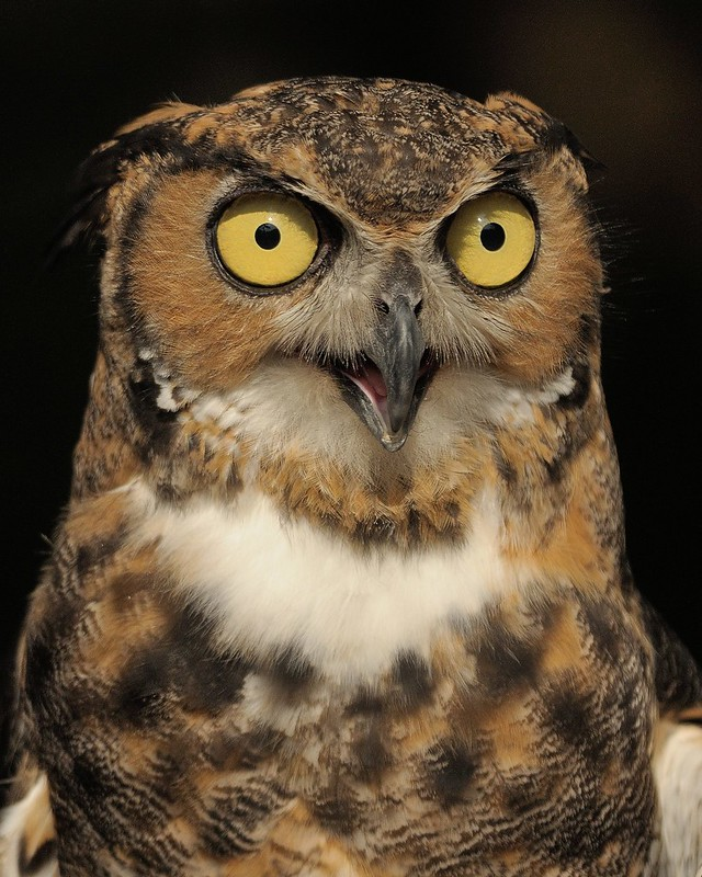 Trick or Treat ~ Great Horned Owl