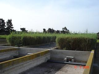 coupe régulières des roseaux (regular harvesting of reeds is necessary) - filtre planté de l'IAV, Rabat, Maroc