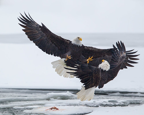 Bald Eagle Piracy