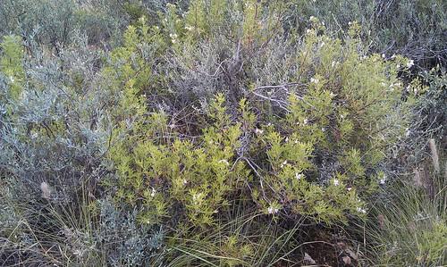 P. scabrum, plant, Clanwilliam