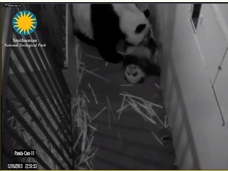 Giant Panda Cam - National Zoo.clipular6