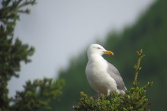 Herring Gull, 6/16/2013, Pickhandle Lake, Yukon