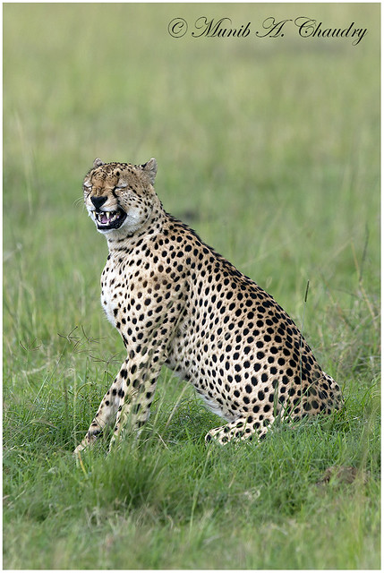 laughing cheetah - photo #12