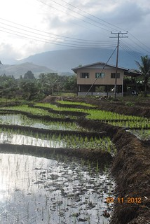 Traditional Paddy Field