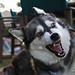 Angry Dog by steve.garner32