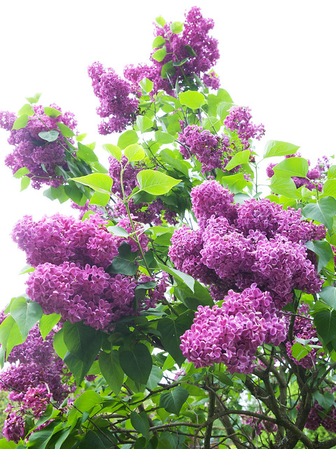 Lilac. Lviv botanic garden. Ukraine
