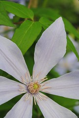 Clematis 'Scented Clem' Sugar-Sweet™ Blue (clematis)