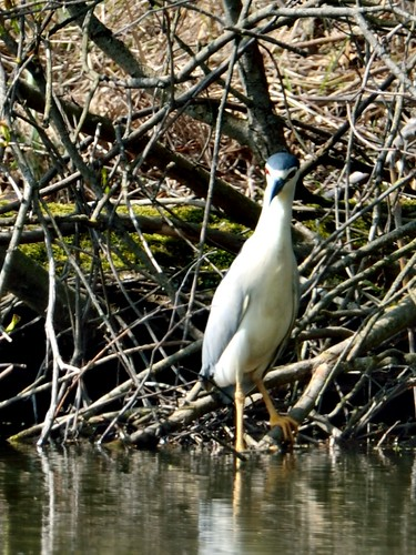 Bihoreau gris Nycticorax nycticorax - Black-crowned Night Heron