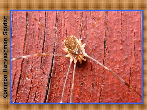 Harvestman Spider 02