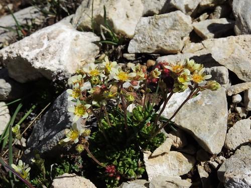 Saxifraga exarata=Saxifrage sillonnée