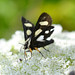Small photo of Eight-spotted Forester (Alypia octomaculata)