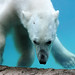 Eisbär Jorek im Nyíregyházi Állatpark (Sóstó  Zoo)