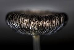 Frilly Fungi.  Backlit for Macro Mondays theme HMM!