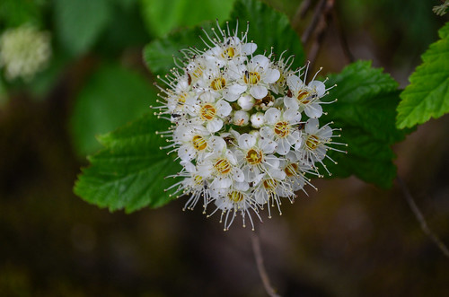 <p><i>Physocarpus capitatus</i>, Rosaceae<br /> Whippoorwill Point, Harrison Hot Springs, British Columbia, Canada<br /> Nikon D5100, 18-55 mm f/3.5-5.6<br /> June 9, 2013</p>