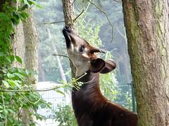 deer(0.0), white-tailed deer(0.0), giraffidae(0.0), wildlife(0.0), animal(1.0), branch(1.0), zoo(1.0), okapi(1.0), mammal(1.0), fauna(1.0),