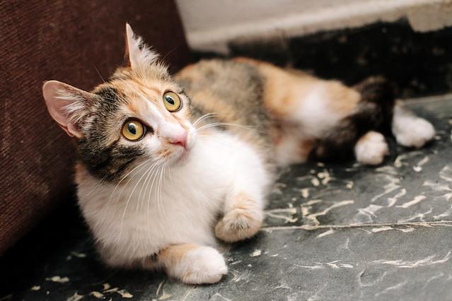 Jaspe, maravillosa tricolor de ojos cobrizos esterilizada nacida en Abril´11, necesita adopción. Valencia. ADOPTADA.  9140575843_e15cc489a2_z