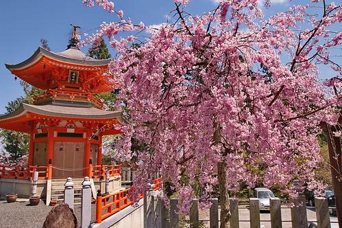 【写真】桜 : 正法寺