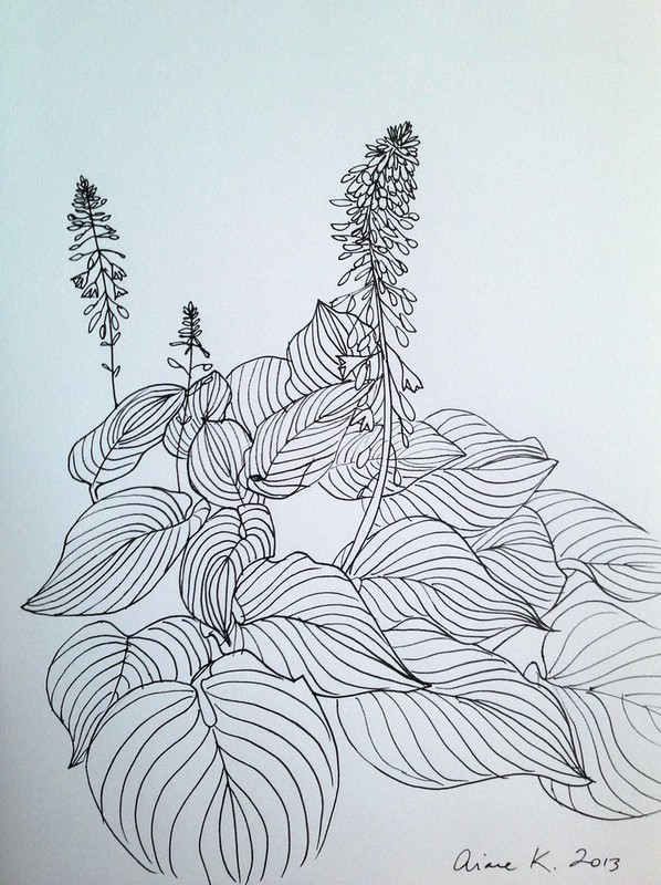 Hosta line drawing sketch