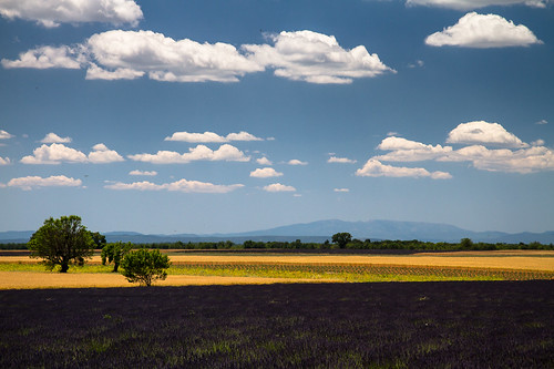 flowers blue sky france tree field grass clouds day purple lavender fresh clear crop provence valensole
