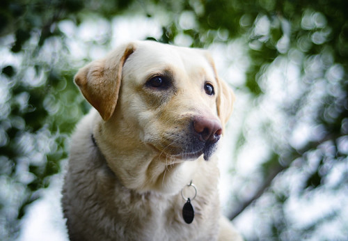 portrait dog pet face animal fur nose eyes lab labrador sweden bokeh ears retriever ring whiskers blonde sverige nametag kajsa domesticated gundog mariefred frönäs