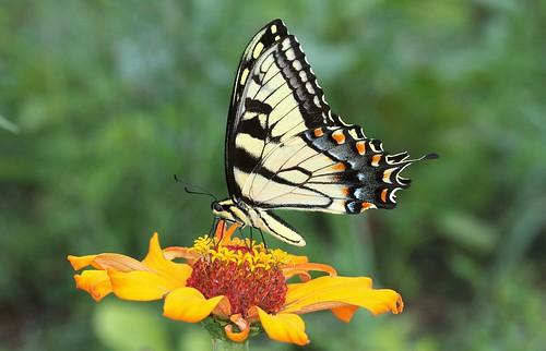 blue orange black yellow butterfly northcarolina swallowtail tigerswallowtail zinnea richmondcounty papilioglaucus eyespot