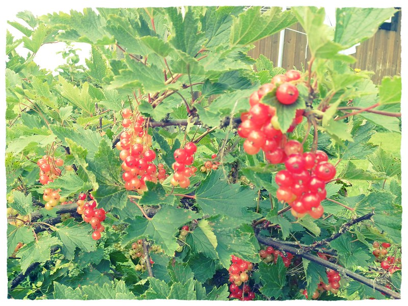 "Red currants with ""filter"""