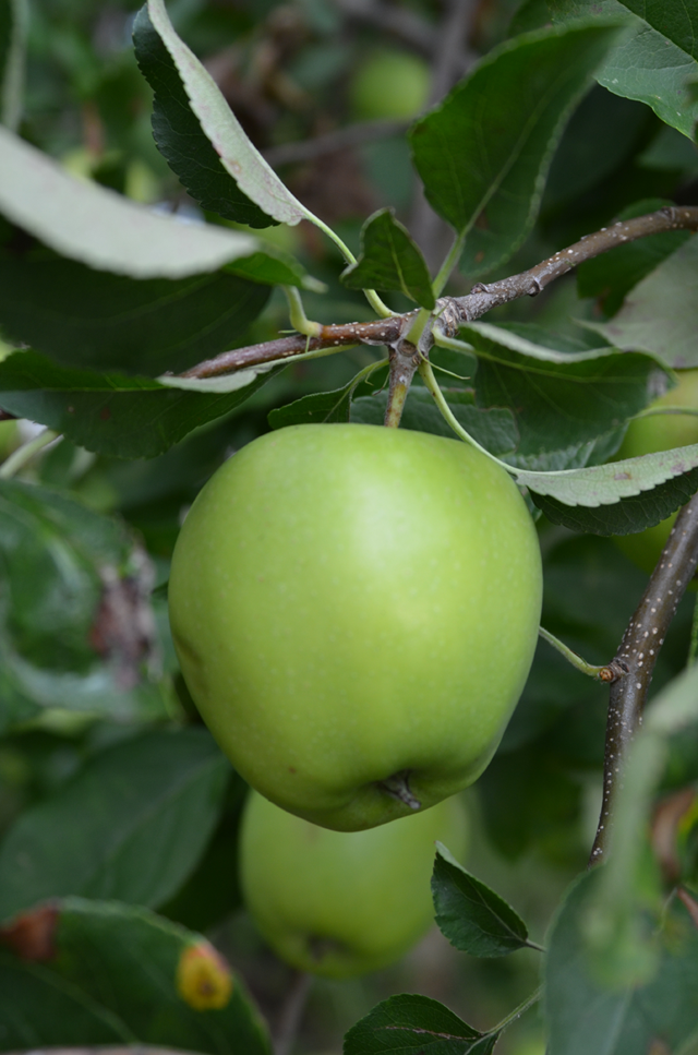 AppleTree7