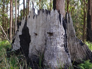 Logging Stump