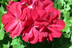annual plant, geranium, flower, plant, flora, petal,