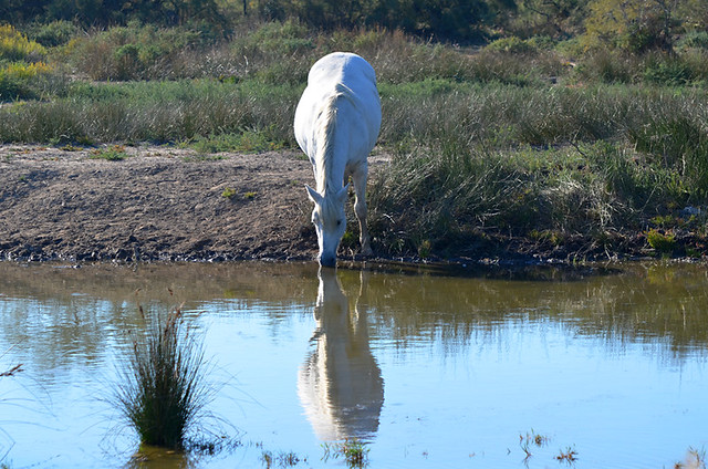 White Horse, Ornithological Park, Saintes Maries de la Mer, Camargue, France