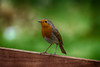 Little Red Breast by Callaghan69