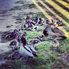 Just Chillin' #ducklings #latrobe