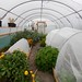 Polytunnel in November