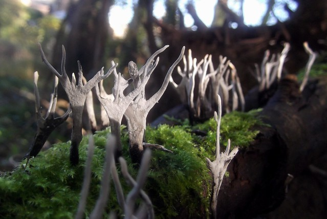 Stags Horn Fungi - Xylaria hypoxylow