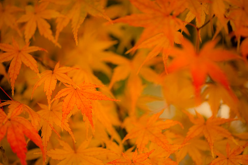 Coloured maple leaves