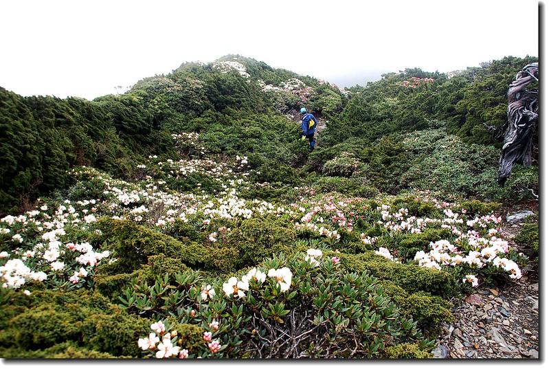 聖稜上盛開的杜鵑 2