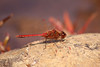 Saffron-winged Meadowhawk (Sympetrum costiferum) by Jeremy Gatten