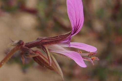 P. myrrhifolium, flower